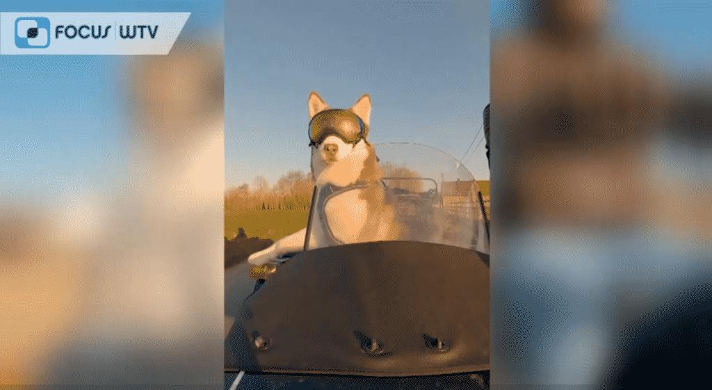 FocusWTV zijspan matisse syberische husky